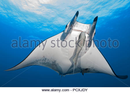 Spiny mobula or Chilean devil ray (Mobula tarapacana) with remora (Echeneidae), Santa Maria island, Azores, Portugal - Stock Photo