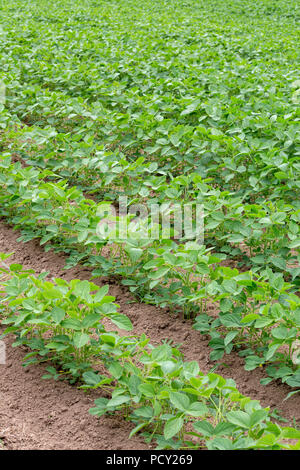 Detail of a field of mid-growth Soy or Soya - Glycine max - planted in rows. - Stock Photo