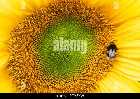 Helianthus annuus. Bombus lucorum. Bumblebee on a Sunflower - Stock Photo