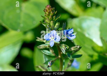 Brooklime (veronica beccabunga), close up of a single flowering spike. - Stock Photo