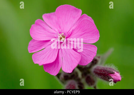 Red Campion (silene dioica), close up of single flower with bud. This is the male flower. - Stock Photo