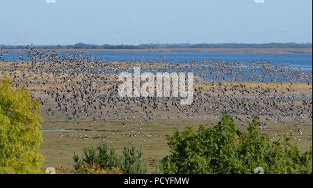 Large flock of migrant Barnacle geese (Branta leucopsis) and Greater White-fronted geese (Anser albifrons) in flight over Matsalu Bay, Estonia, Sept. - Stock Photo