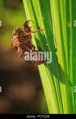 Macro image of a Dog-day Cicada (Neotibicen canicularis) shell - Stock Photo