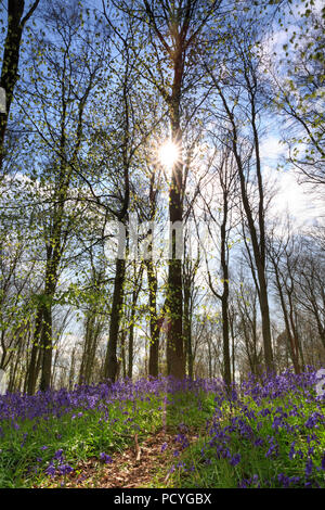 A carpet of Bluebells (Hyacinthoides Non-Scripta) in a woodland of Beech trees on a bright spring day in Sussex - Stock Photo