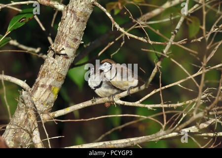 Two Australian, Queensland Double-barred Finches ( Taeniopygia bichenovii ) perched on a tree branch resting in lovely soft morning light - Stock Photo