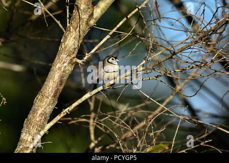 An Australian, Queensland Double-barred Finch ( Taeniopygia bichenovii ) perched on a tree branch resting in lovely soft morning light - Stock Photo