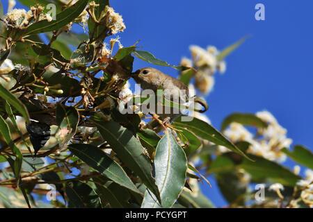 An Australian, Queensland Female Scarlet Honeyeater ( Myzomela sanguinolenta ) perched on a tree branch feeding on nectar - Stock Photo
