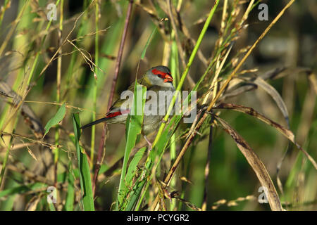 An Australian, Queensland Red-browed Finch ( Neochmia temporalis ) eating seeds in thick bush - Stock Photo