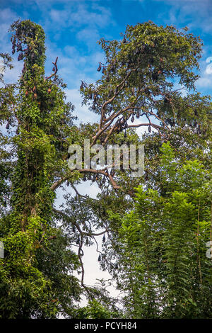 A tree full of roosting flying foxes aka fruit bats during the day time with forest jungle of the Sri Lanka - Stock Photo