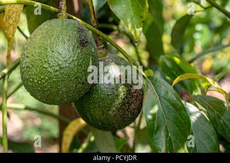 Wild avocado trees