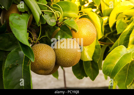 Branch with many Pyrus pyrifolia or Nashi growing in the tree. A rare type of pear native to East Asia. Outdoor day scene with sunlight at sunset. - Stock Photo