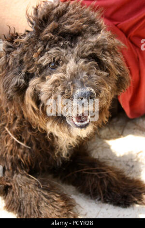 Brown Fluffy Dog Looking at Camera - Stock Photo