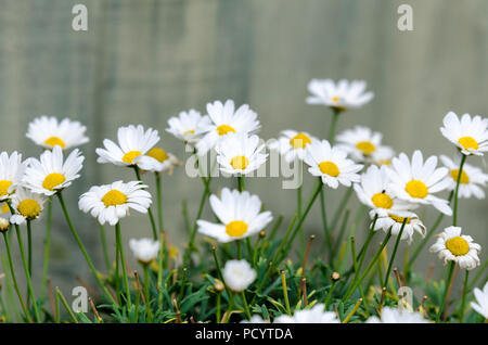 Shasta Daisies, Shasta Daisy Flowers (Leucanthemum × superbum) large daisies daisy growing in a pot - Stock Photo