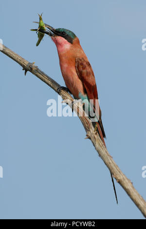 Vertical porttrait of southern carmine Bee-eater sitting on a branch eating green grasshopper with blue sky in Kruger National park, South Africa - Stock Photo