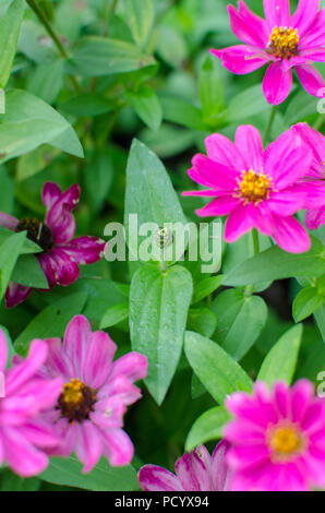 ... Mcro Pink Zinnia Flower Bud In Butterfly Garden In Riverview Park,  Pittsburgh   Stock Photo