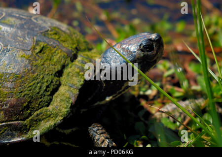 Closeup of a Yellow-bellied slider turtle climbing up the bank of a pond with algae or moss on its shell in Arapahoe North Carolina - Stock Photo