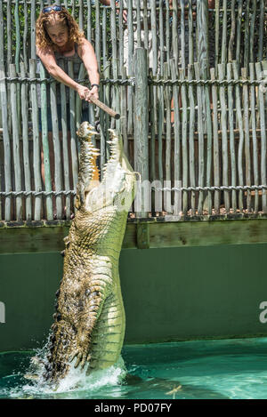 Maximo, a massive 1250 pound saltwater crocodile measuring over 15 feet long, leaps for food at St. Augustine Alligator Farm Zoological Park. - Stock Photo