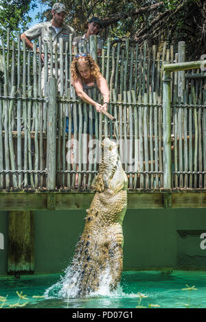Woman feeding Maximo, a 1250 pound saltwater crocodile over 15 feet long, as it leaps from the water at St. Augustine Alligator Farm Zoological Park. - Stock Photo