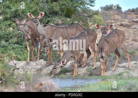 South Africa, a fantastic travel destination to experience third and first world together. Kudu cows drink wat waterhole in Karoo National Park. - Stock Photo