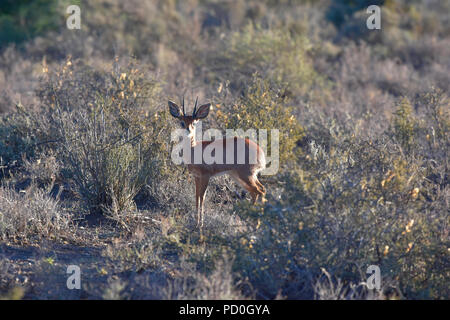 South Africa, a fantastic travel destination to experience third and first world together. Diminutive steenbok ram in Karoo National Park. - Stock Photo