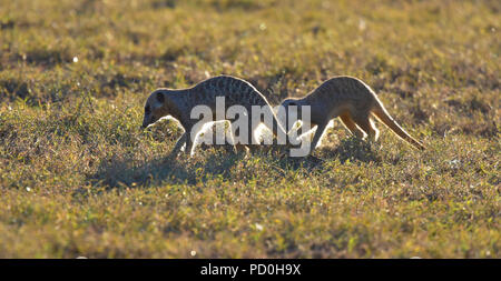 South Africa, a fantastic travel destination to experience third and first world together. Suricat or meerkat foraging in Addo Elephant park. - Stock Photo