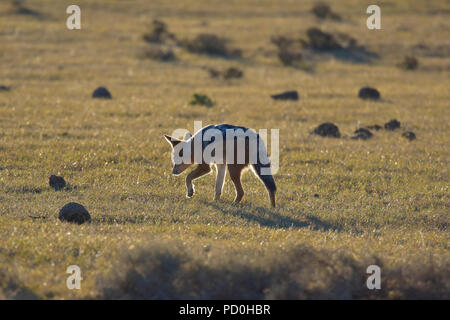 South Africa, a fantastic travel destination to experience third and first world together. Black backed jackal backlighting. Addo Elephant park. - Stock Photo