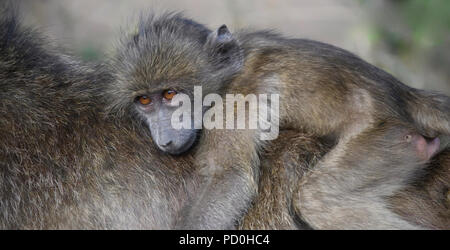South Africa, a fantastic travel destination to experience third and first world together. Baby chacma baboon riding on mom's back. - Stock Photo