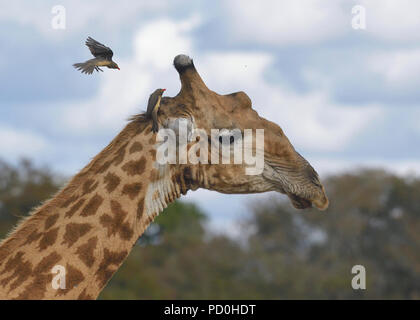 South Africa, a fantastic travel destination to experience third and first world together. Red billed oxpecker hovering above giraffe head. - Stock Photo