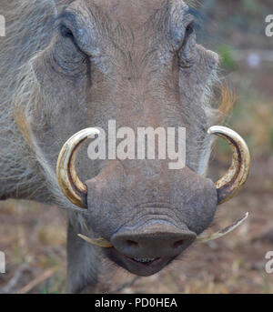 South Africa, a fantastic travel destination to experience third and first world together. Warthog close-up showing curved tusks. - Stock Photo