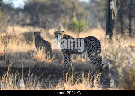 South Africa, a fantastic travel destination to experience third and first world together. Male cheetah on the hunt in burnt grass. Kruger Park. - Stock Photo