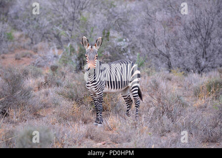 South Africa, a fantastic travel destination to experience third and first world together.Wet Cape mountain zebra among leafless thorn trees. - Stock Photo