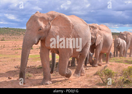 South Africa, a fantastic travel destination to experience third and first world together. Herd of elephants filing past tourists. Addo Elephant park. - Stock Photo