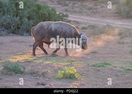 South Africa, a fantastic travel destination to experience third and first world together. Lone buffalo bull plodding at sunset. Addo Elephant park. - Stock Photo
