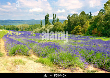 Lavender field in Provence, a province of southeastern France - Stock Photo