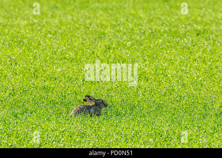 Hare sitting in the grass on a field - Stock Photo