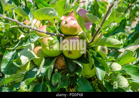 Apples ripening on an apple tree although one apple is rotting on the tree. - Stock Photo