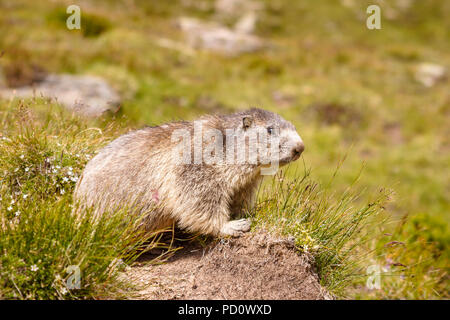 Alpine marmot (Marmota marmota) on a grass tussock in Saas Fee in the Saastal (Saas Valley) in the canton of Valais, Switzerland - Stock Photo
