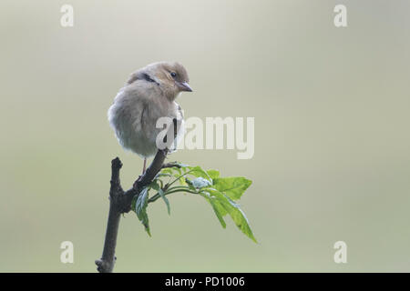 Juvenile Female Chaffinch (fringilla coelebs) perched on branch - Stock Photo