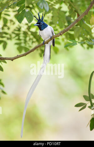 Asian Paradise-flycatcher - Terpsiphone paradisi, beautiful black headed passerine bird from Sri Lankan woodlands and gardens. - Stock Photo