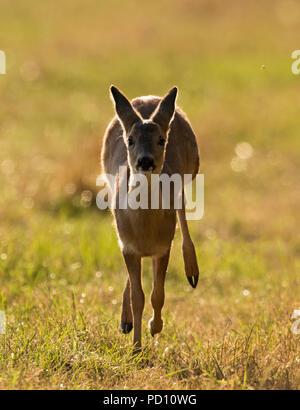 A wild Roe Deer (Capreolus capreolus) fawn running, Warwickshire - Stock Photo