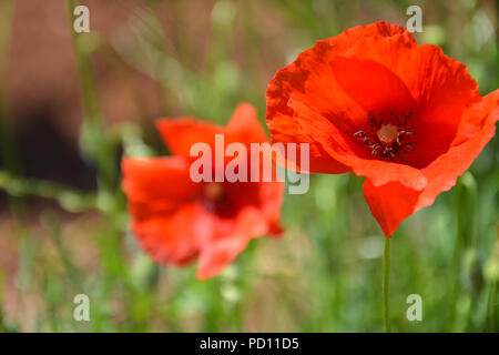 Mohnblume - Stock Photo