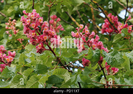 red horse chestnut, detail of flowers and leaves, april, italy - Stock Photo
