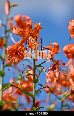 Beautiful Tiger Lily flowers bask in the summer sunshine - Stock Photo