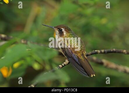 Speckled Hummingbird (Adelomyia melanogenys maculata) adult perched on twig  Vinicio Birdwatchers House, Nono-Mindo Road, Ecuador           February - Stock Photo