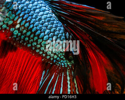 betta fish isolated on black background - Stock Photo