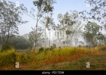 Morning mist in gum trees, Biboorah, Atherton Tablelands, Far North Queensland, FNQ, QLD, Australia - Stock Photo