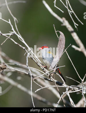 Red-browed Finch (Neochmia temporalis), Biboohra, Atherton Tableland, Far North Queensland, FNQ, QLD, Australia - Stock Photo
