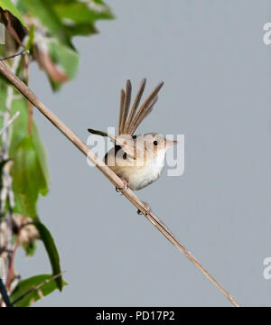 Female Red-backed Fairy-wren (Malurus melanocephalus) perched on a twig, Biboohra, Atherton Tableland, Far North Queensland, FNQ, QLD, Australia - Stock Photo