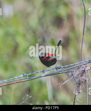 Red-backed Fairy-wren (Malurus melanocephalus), Biboohra, Atherton Tableland, Far North Queensland, FNQ, QLD, Australia - Stock Photo