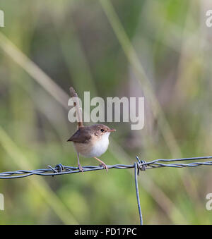 Female Red-backed Fairy-wren (Malurus melanocephalus) perched on a wire, Biboohra, Atherton Tableland, Far North Queensland, FNQ, QLD, Australia - Stock Photo